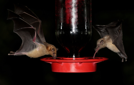 lesser long nosed bat and Mexican long tongued bat
