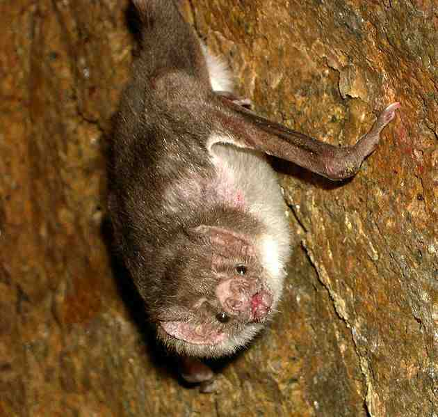 Desmodus rotundus common vampire bat photo