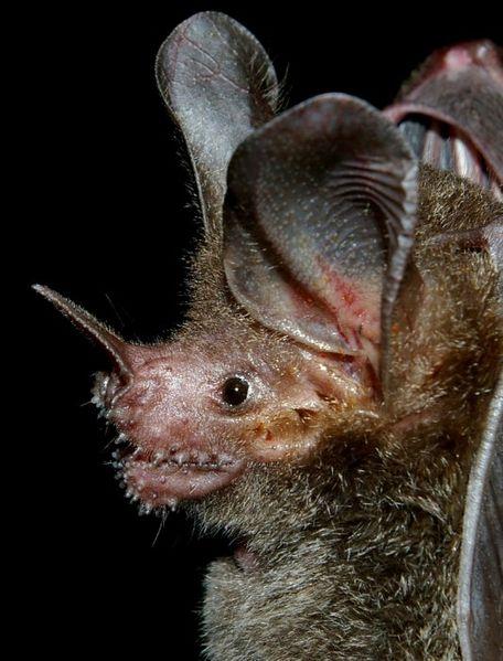 fringe lipped bat South American frog eating bat photo