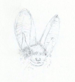 Long eared bat sketch