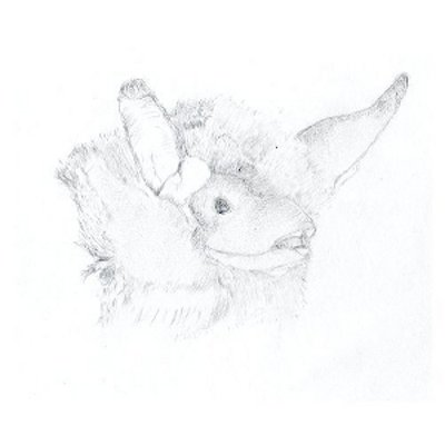 Online drawing of a natter's bat