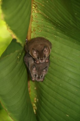 Artibeus neo tropical fruit bats in a leaf