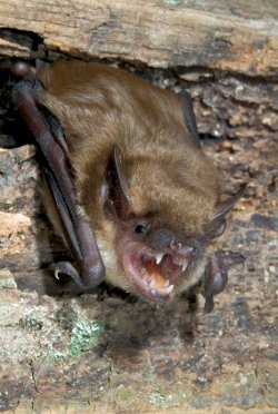 big brown bat photo