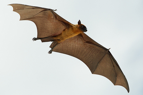A fruit bat (flying fox) in the Maldives