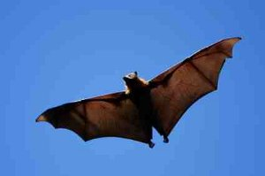 photo of a grey headed flying fox