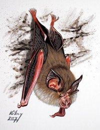 Lesser horseshoe bat drawing