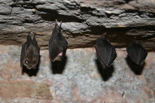 Lesser horseshoe bats