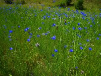cornflowers in a field