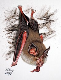 Lesser horseshoe bat drawing